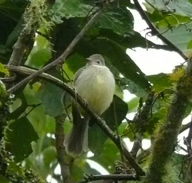 Yellow-bellied elaenia, crest down