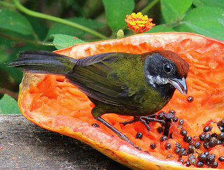The Sooty-faced finch here feeds his sooty face with papaya.