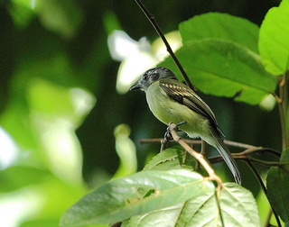 Slaty-capped flycatcher with distinctive dark ear patch.