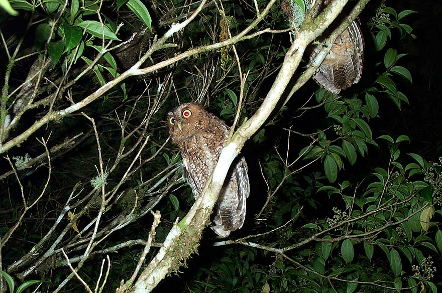 Bare-shanked Screech-owl, a highland endemic
