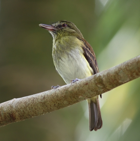 Bright-rumped attila CR (5)