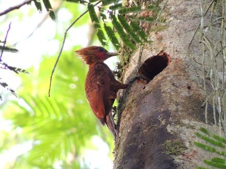 Chestnut-coloured woodpecker