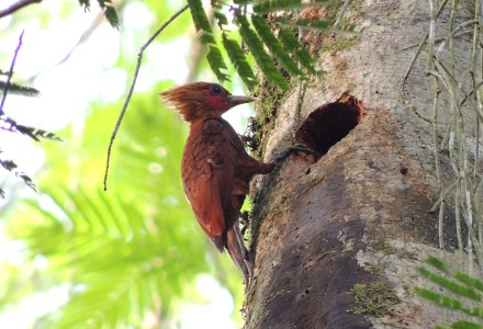 Chestnut-coloured woodpecker