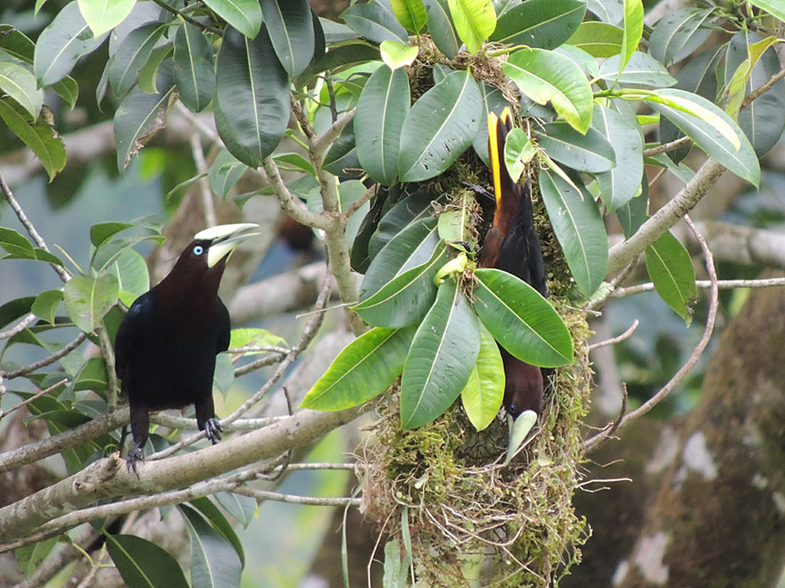 Chestnut-headed Oropendolas at the nest