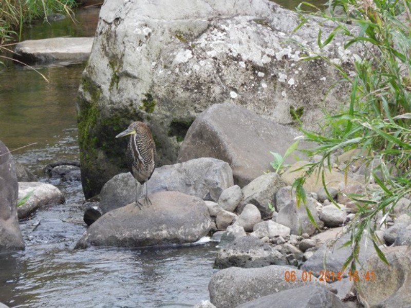 This was the first photograph taken of a Fasciated Tiger-heron here in San Antonio (courtesy of Gonzalo Porras)