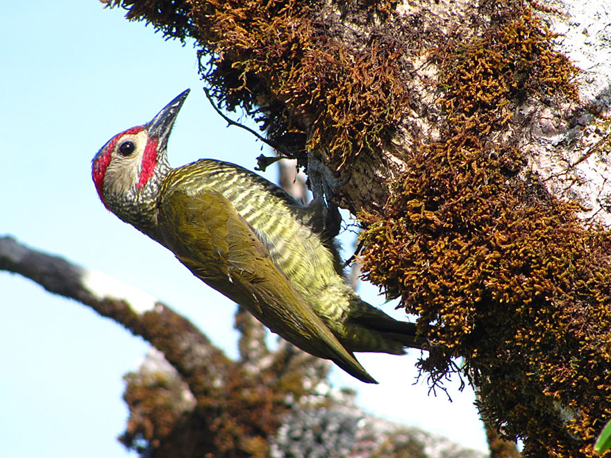 The white cheeks of the Golden-olive woodpecker are distinctive