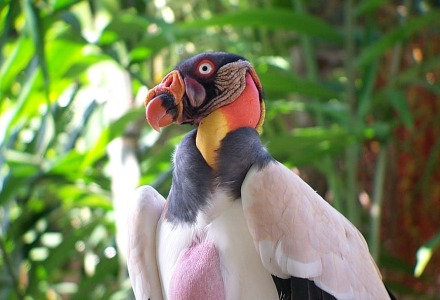 King Vulture (Sarcoramphus papa)