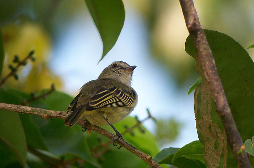 Paltry Tyrannulet, courtesy of Richard Garrigues
