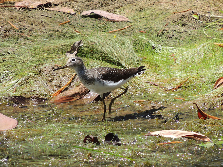 Solitary sandpiper picks up his heels