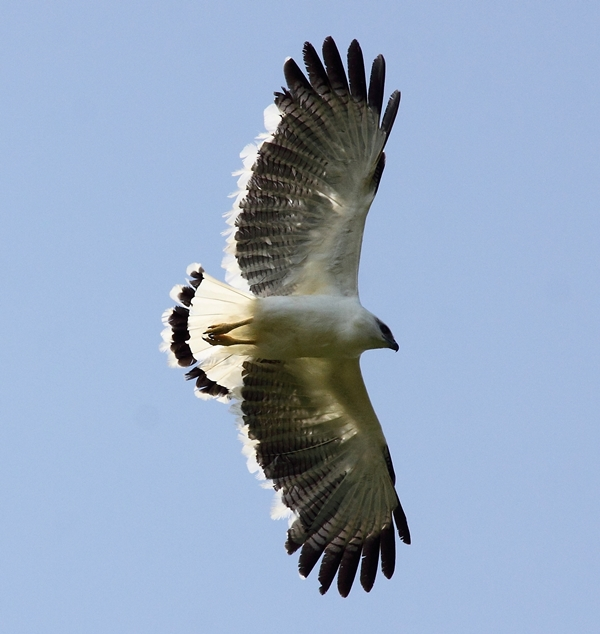 White hawk in flight