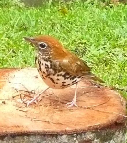 Wood thrush