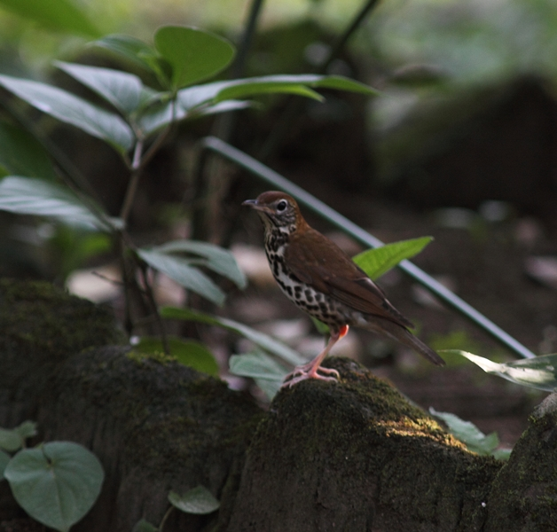 The Wood Thrush is a rather uncommon migrant in our area