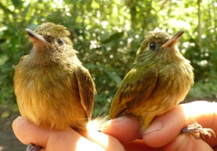 Yellow-olive and Yellow-margined flycatchers side by side