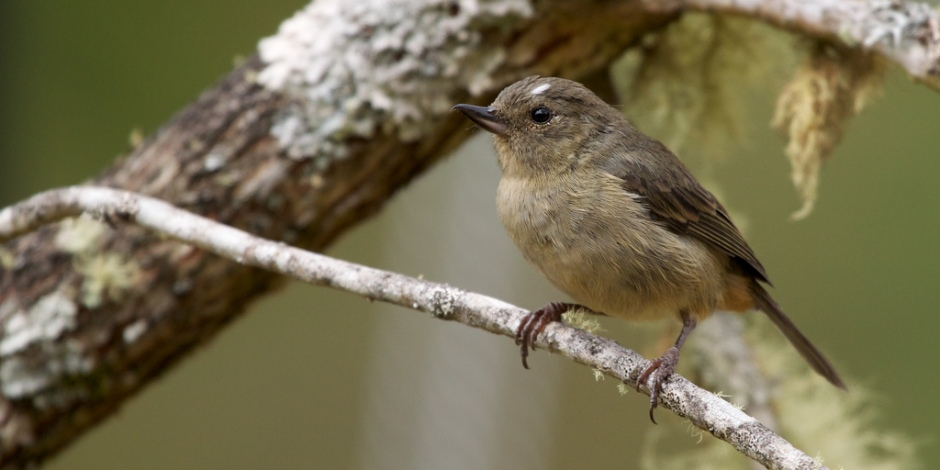 Female Slaty flowerpiercer