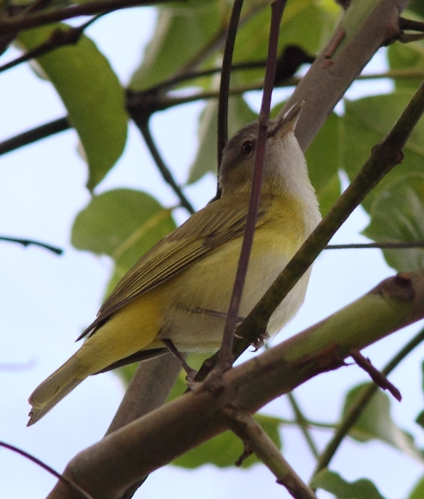 Yellow-green vireo CR (1)Web