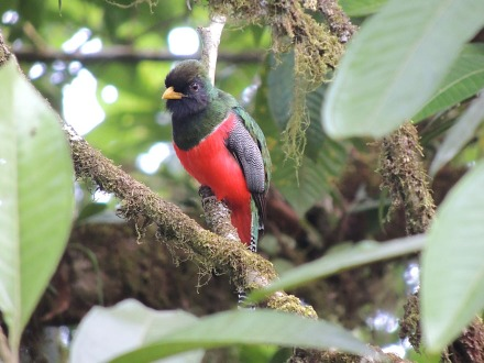 A male Collared Trogon, by kind courtesy of Richard Garrigues