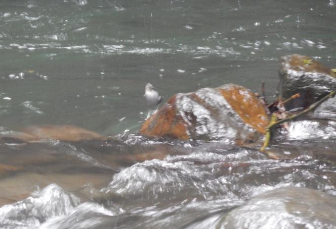One of a pair of American Dippers on Quebrada La Loca at San Diego de San Antonio