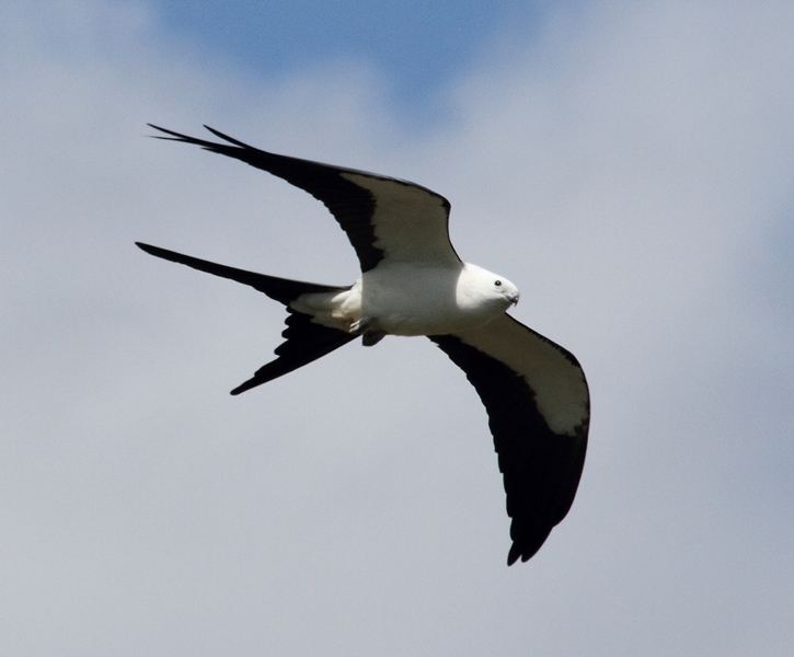 Always a beautiful sight, the Swallow-tailed kite