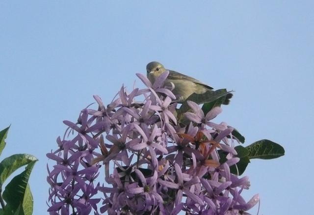 Tennessee warblerlilac