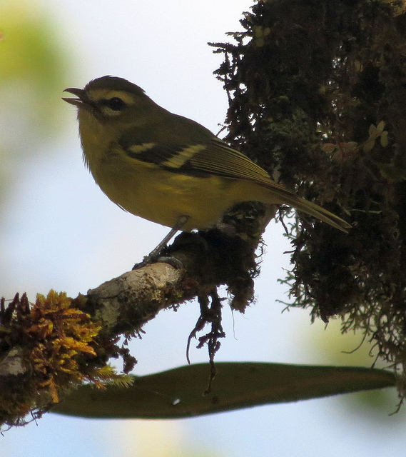 Yellow-winged Vireo, a highland species