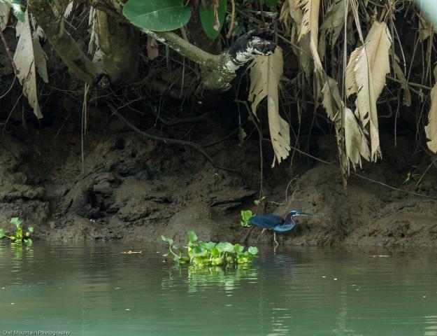 Jeden z rzadszych wodnych ptaków.