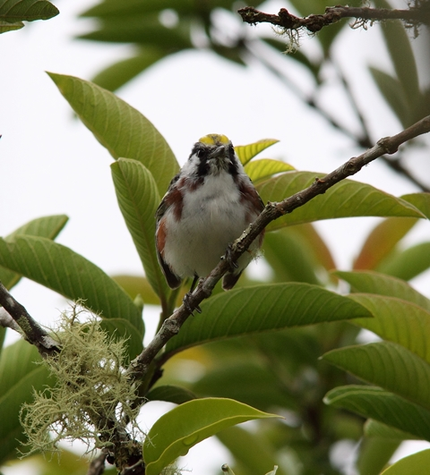Perhaps our commonest migrant warbler, the Chestnut-sided