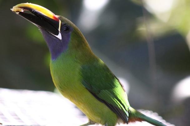 Emerald toucanet (3)