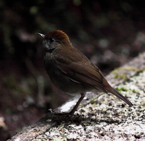 The Ruddy-capped Nightingale-thrush - A dainty denizen of the Costa Rican highlands