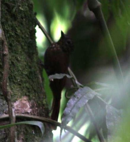 162 Spotted barbtail...170 Long-tailed or 172 Spotted woodcreeper... Observatory Lodge Arenal CR (2)