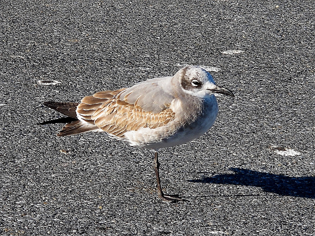 First-winter Laughing Gull