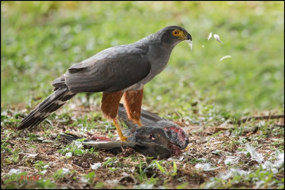 "Bicolored Hawk ""Bicoloured Hawk (Accipiter bicolor) with prey"" by Chris Jimenez is licensed under CC BY-SA 2.0"
