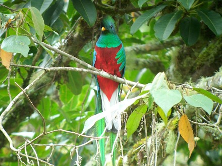 Male Resplendent Quetzal in a Costa Rican cloud forest