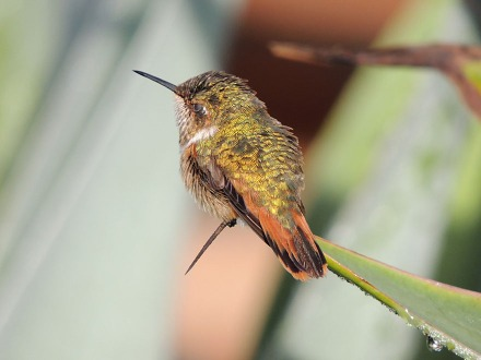 scintillant_hummingbird_female_2_B