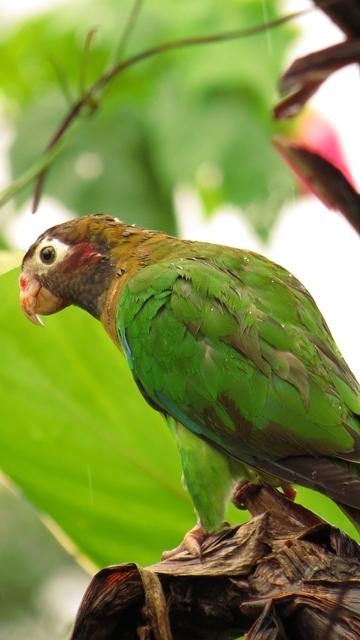 Brown-hooded Parrot at San Rafael de Santa Cruz, Turrialba