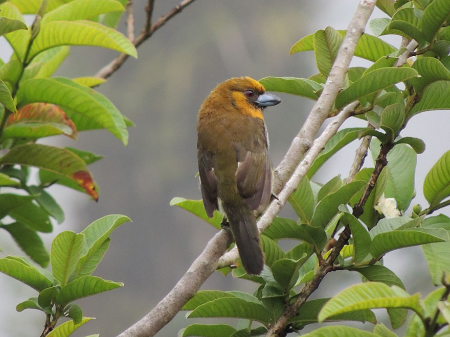 Prong-billed Barbet, el checho, found at last, and close by!