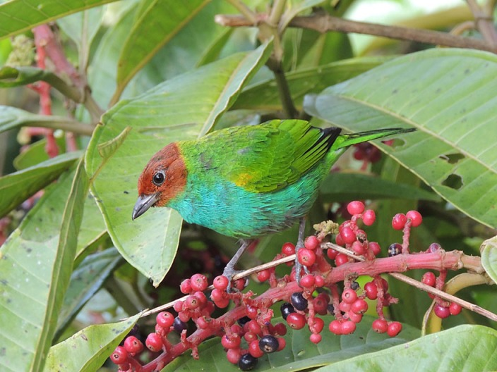 Bay-headed Tanager, a ommon but stunningly beautiful middle-elevation species