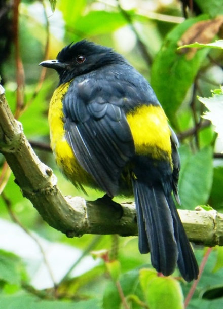 A common but beautiful highland species: male Black-and-yellow Silky-flycatcher