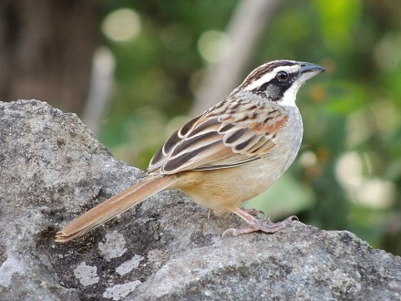 Stripe-headed Sparrow, courtesy of Richard Garrigues