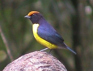 Male Tawny-capped Euphonia