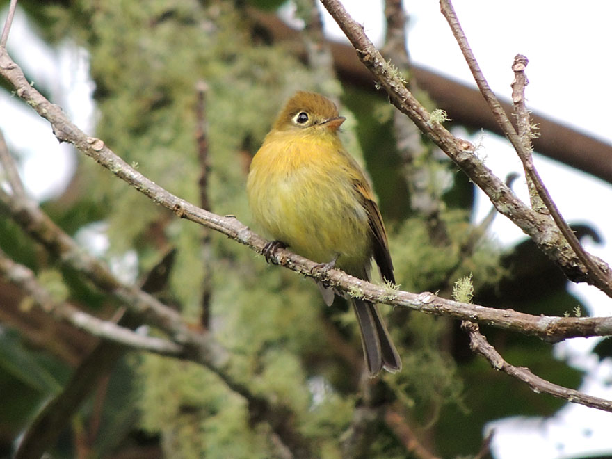 Yellowish Flycatcher, a resident highland species