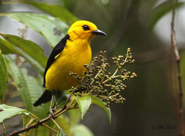 Male Black-and-yellow Tanager