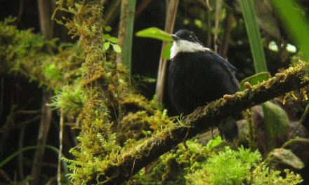 Male White-ruffed Manakin, courtesy of Diego Calderon and