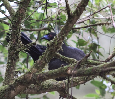 Black Guan - the only guan of the highlands