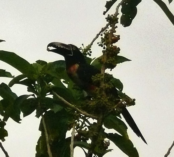 A toucan's bill can handle tiny berries very delicately
