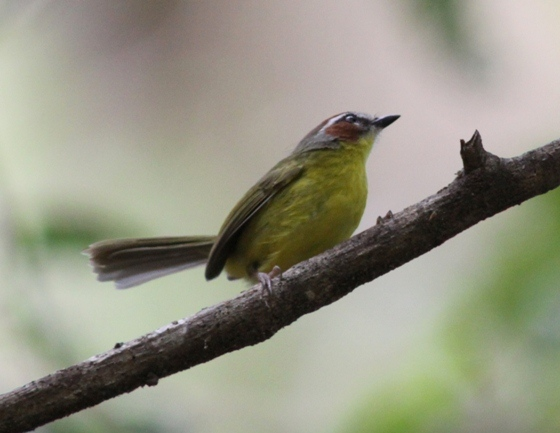 Rufous-capped Warbler, courtesy of Karel Straatman