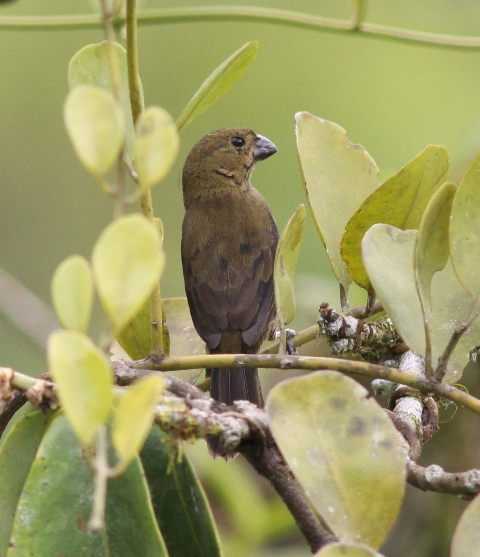 Female Variable Seedeater, identical on both Caribbean and Pacific slopes