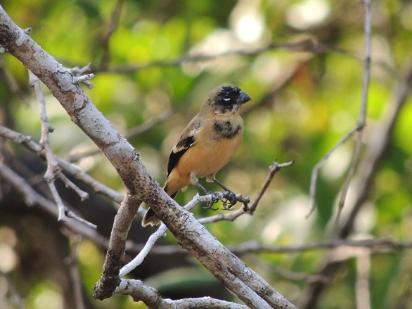 Juvenile male White-collared Seedeater