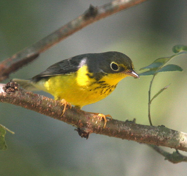 Canada Warbler, necklace and all