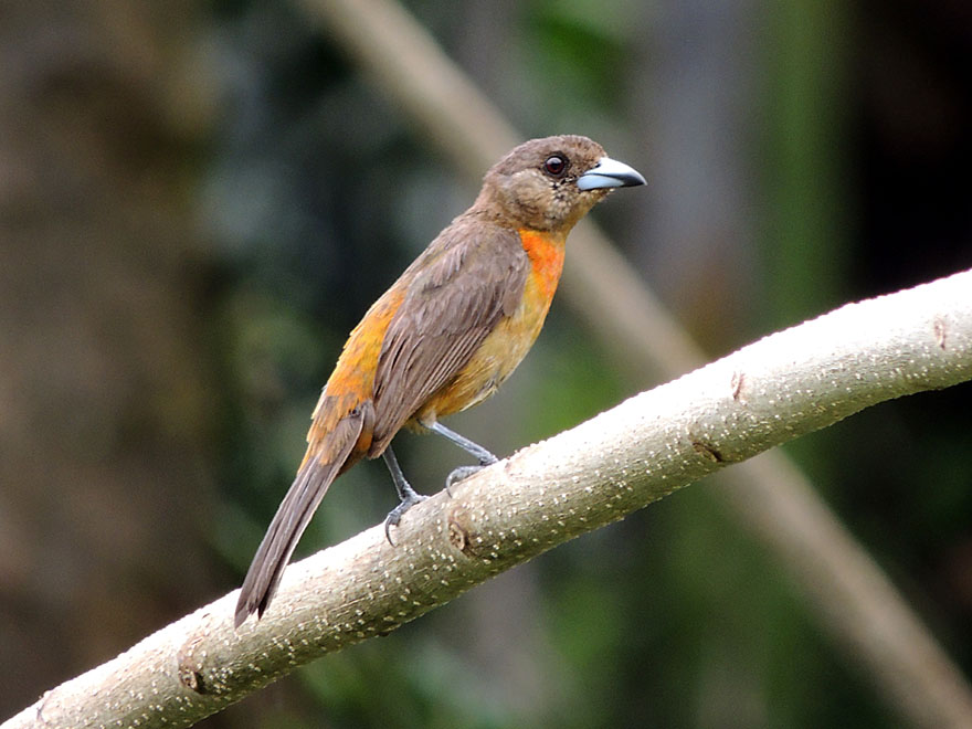 Female Cherrie's Tanager (Ramphocelus costaricensis)