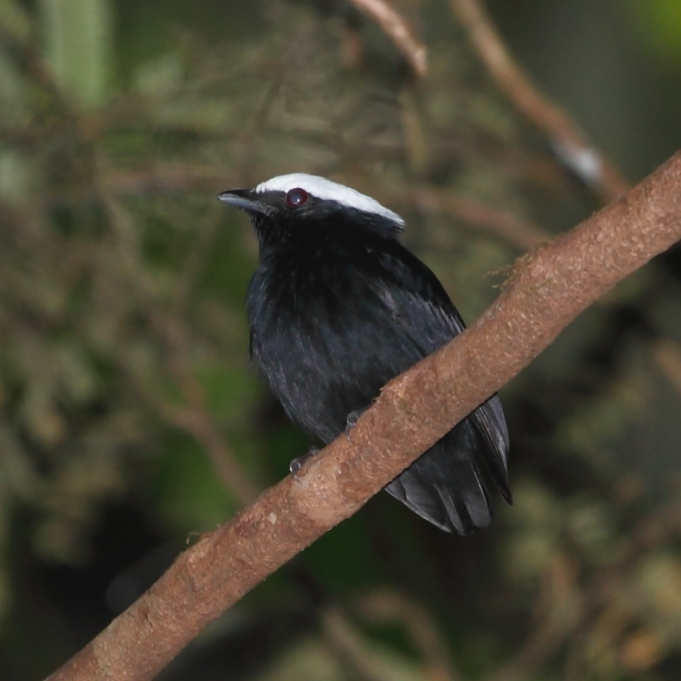 Male white-crowned manakin https://upload.wikimedia.org/wikipedia/commons/0/07/Dixiphia_pipra_-_White-crowned_Manakin_%28male%29.JPG